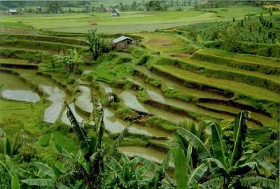 На таких терассах в Минангкабау выращивают привычный нам рис