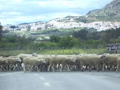 Бывает, что дорогу в испанском городке перекрывает отара овец