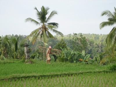 Сборщик кокосового ореха рано утром выходит на работу