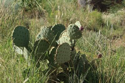 В Мексике растёт много диких кактусов