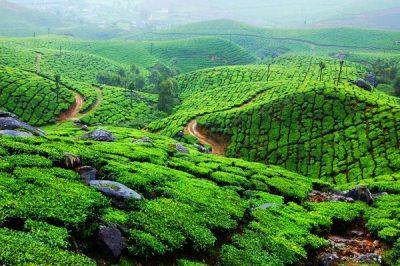 Чайная плантация, Индия